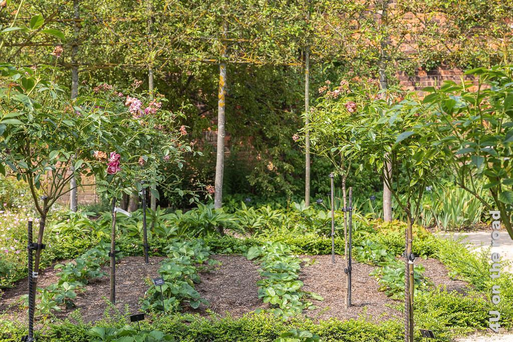Formaler Garten - Erdbeeren und Rosenbäume umzäunt von hochstämmigem Spalierobst in den Alnwick Gardens