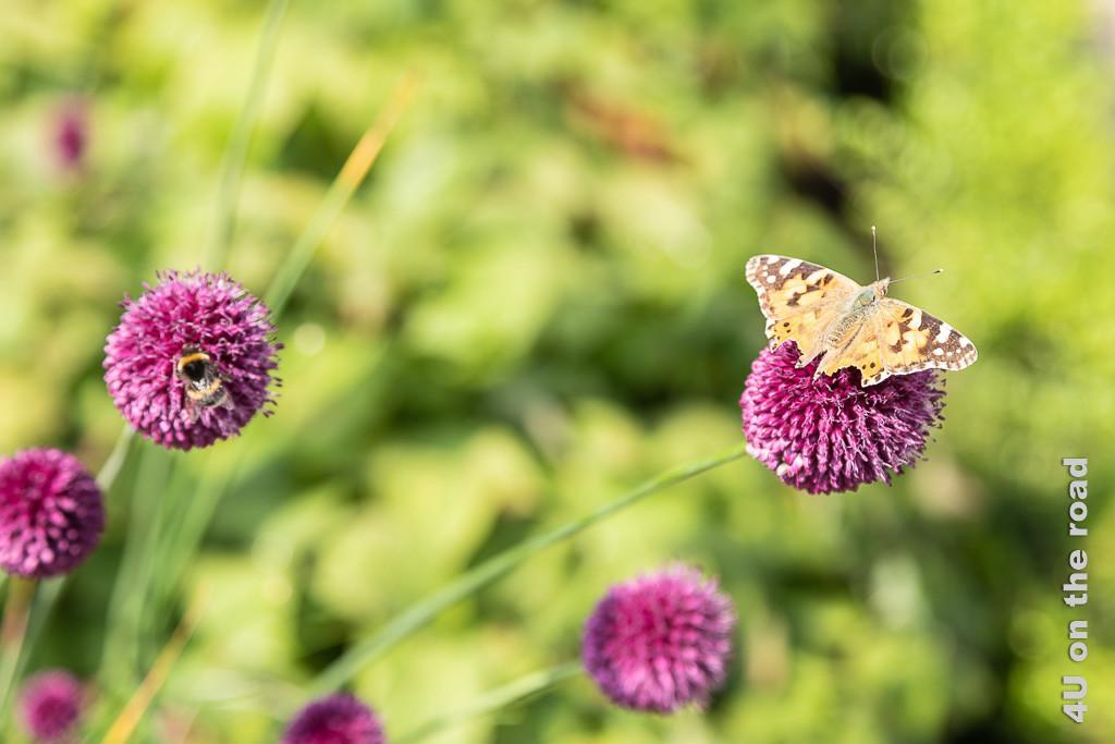 Alnwick Gardens, Formaler Garten - von Insekten geliebt, Schmetterling und Hummel auf pinker Kugelblüte