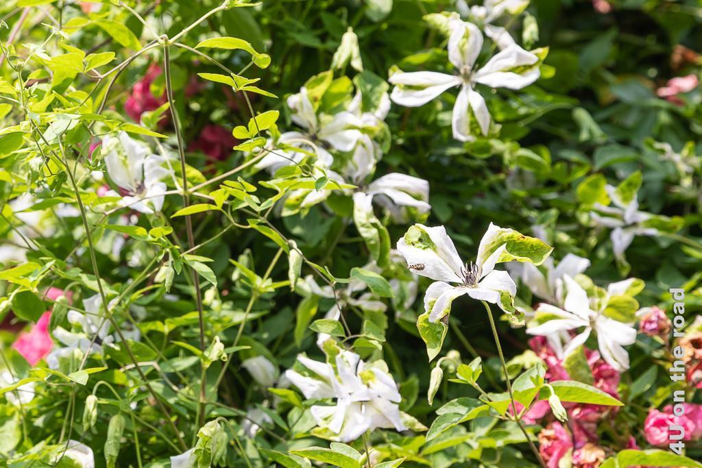 Alnwick Gardens - Rosengarten, Clematis mit Scheinblüte. Die Blütenbläter sind weiss und an den Enden noch grün in Blattfarbe.