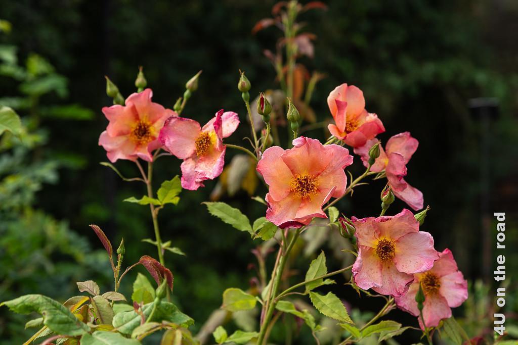 Alnwick Gardens - Rosengarten, Rosenblüte gross, ungefüllt in Orange-Rose