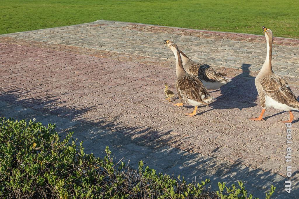 Gänse mit Küken im Al Baleed Archäologiepark. Zu sehen sind 3 erwachsene Gänse die schnatternd hinter einem Küken herstolzieren