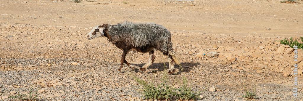 Im Bild ist ein laufendes Schaf im Wolfspelz zu sehen. Das Bild dient der Illustration der Zollvorschriften für den Oman.