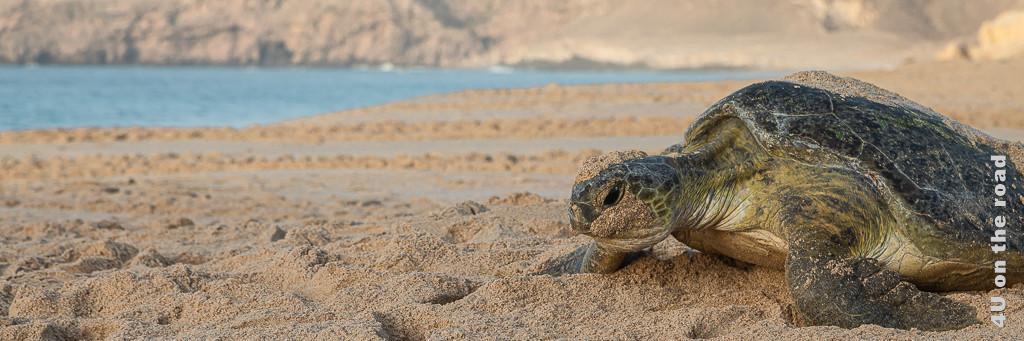 Schildkröte, die sich mit letzter Kraft zum Wasser schleppt als Illustration  für Reisekrankenversicherung für den Oman.