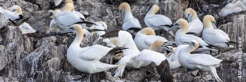 Bass Tölpel auf dem Bass Rock. Diese Vögel sieht man auf einer Bootstour vom Seabird Center.
