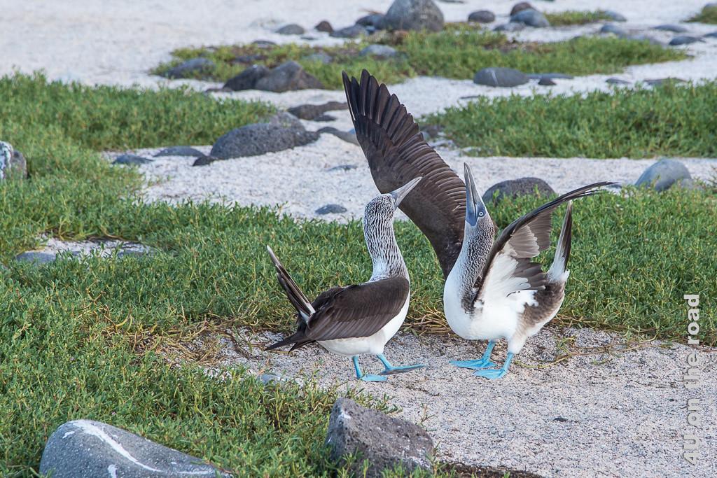 Blaufusstölpel beim Balztanz, Vögel auf Galápagos