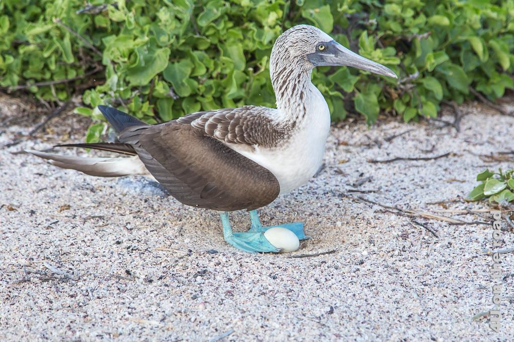 Weisses Ei zwischen den blauen Füssen eines Blaufusstölpels, Tiere auf den Galápagos Inseln - Vögel