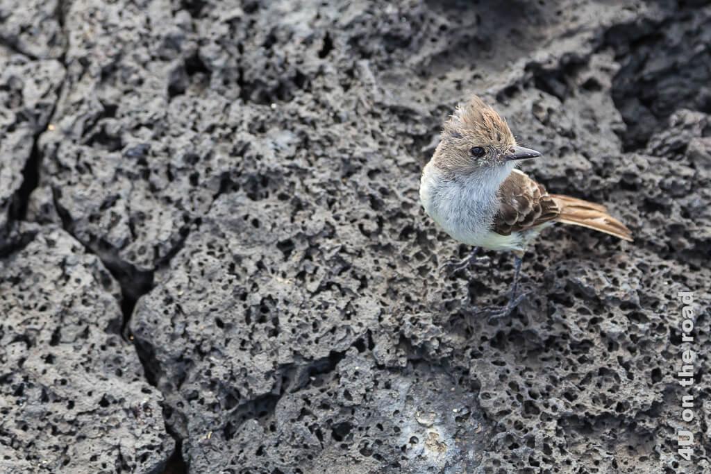 Galápagos Flycatcher, Tiere auf den Galápagos Inseln - Vögel