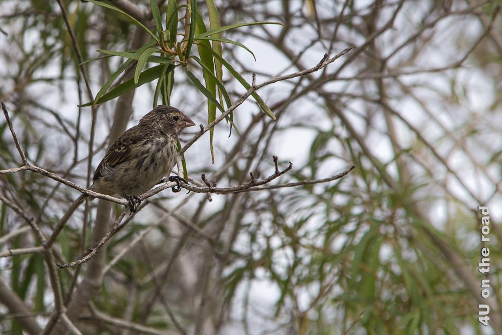 Darwinfink, Vögel auf Galápagos