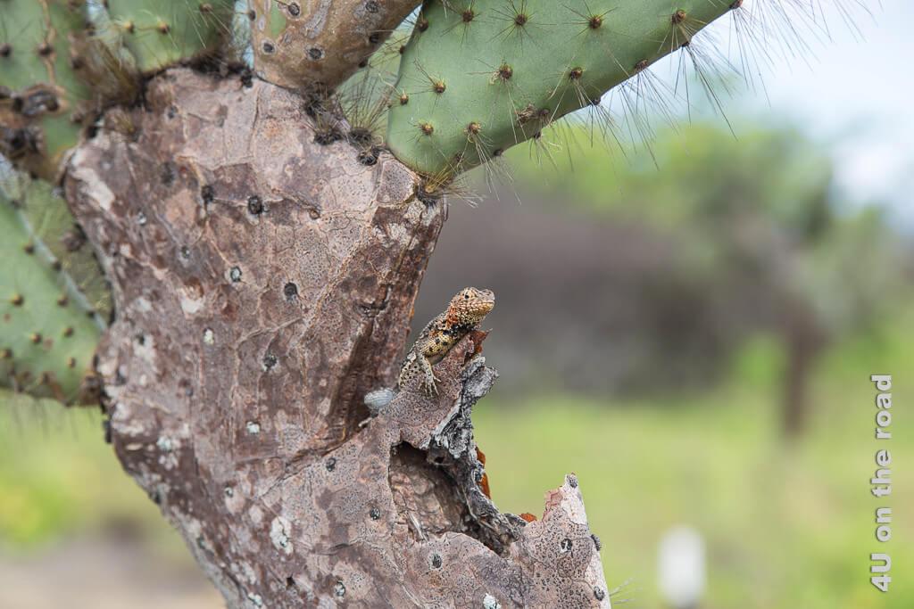 Kaktus mit Wächter - Lavaechse, Reptilien auf Galápagos
