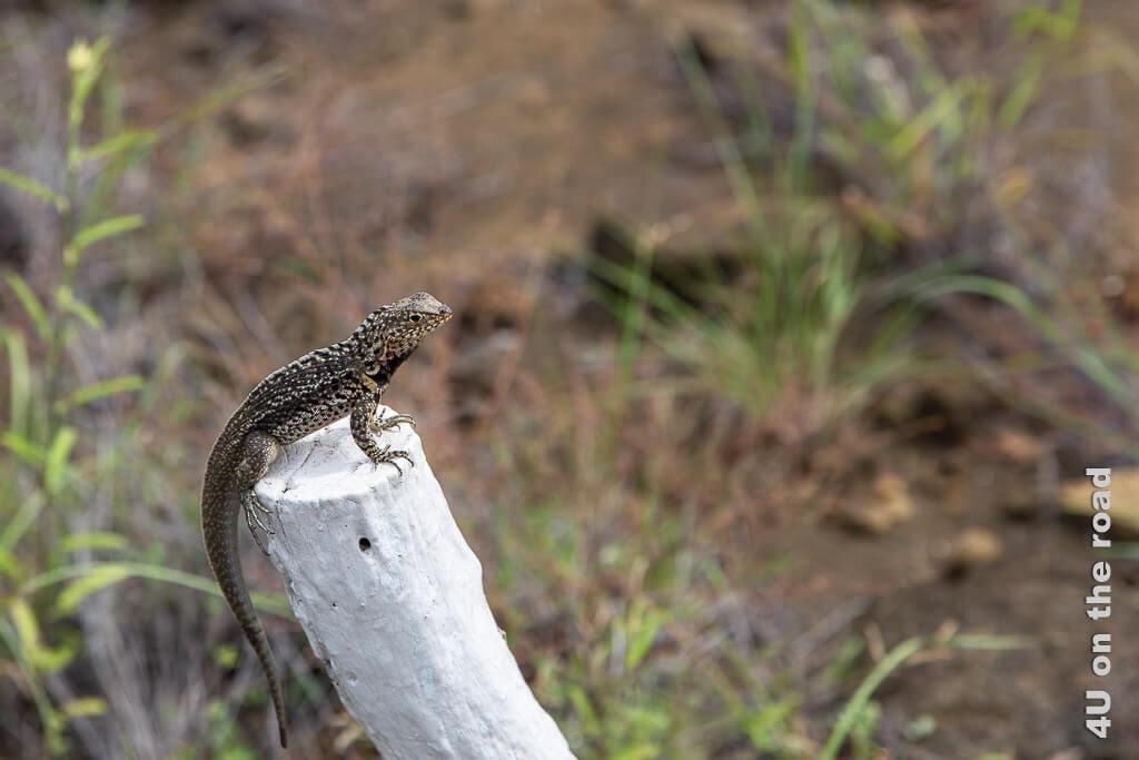 Lavaechse, Reptilien Galápagos