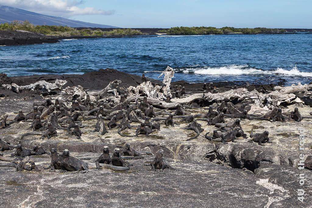 Meerechsen am Punta Espinoza auf der Insel Ferdinandina, Galápagos Inseln