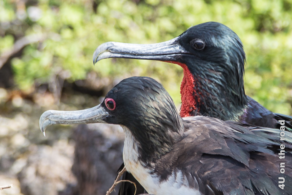 Fregattvogelpaar, Tiere auf den Galápagos Inseln - Vögel