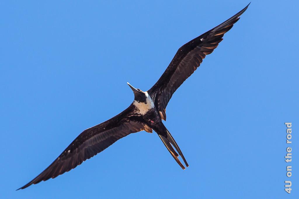 Ein Fregattvogel Weibchen im Flug, Vögel auf Galápagos