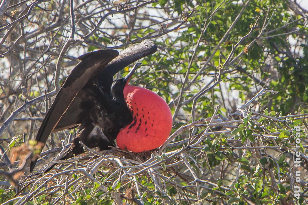 Beim Balzen ein Fregattvogel Männchen, Vögel auf Galápagos