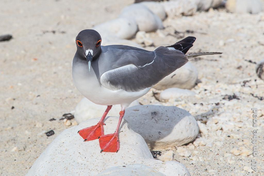 Gabelschwanzmöve auf einem Stein, Vögel auf den Galápagos Inseln