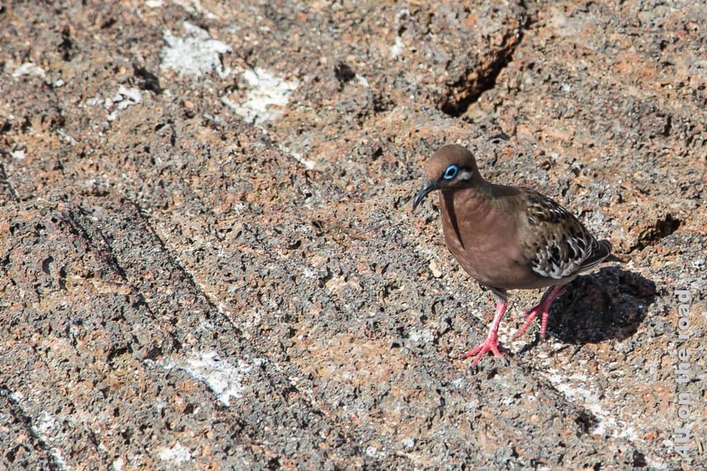 Galápagostaube, Tiere auf den Galápagos Inseln - Vögel