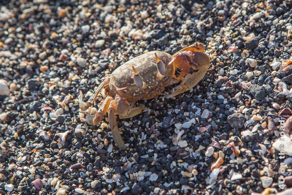 Geisterkrabben verdanken ihren Namen ihrer Geschwindigkeit, Krabben auf Galápagos
