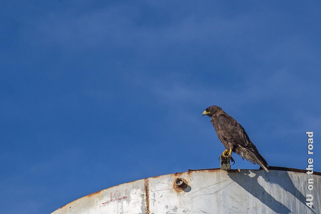 Galápagosbussard, Tiere auf den Galápagos Inseln - Vögel