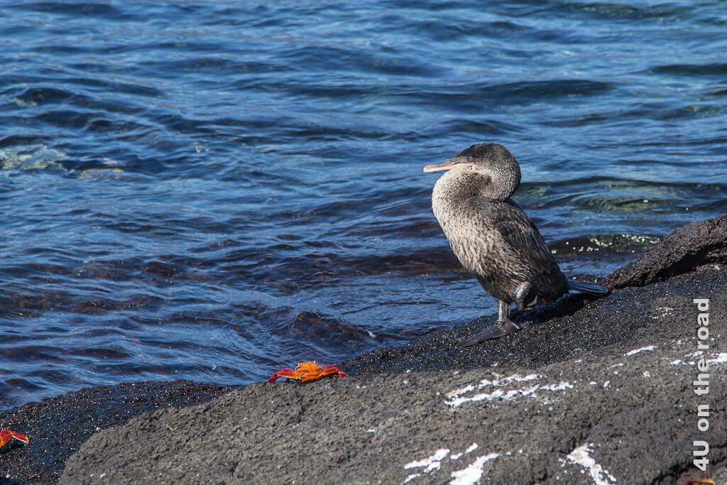 Flugunfähiger Kormoran mit türkisblauen Augen wartet neben einer Roten Klippenkrabbe am Wasser, Vögel auf den Galápagos Inseln