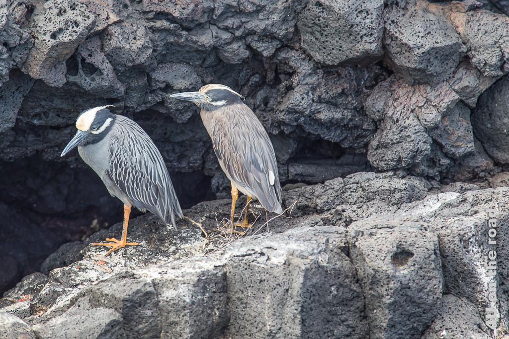 Krabbenreiherpaar im Schatten eines Felsens, Vögel auf Galápagospinguin