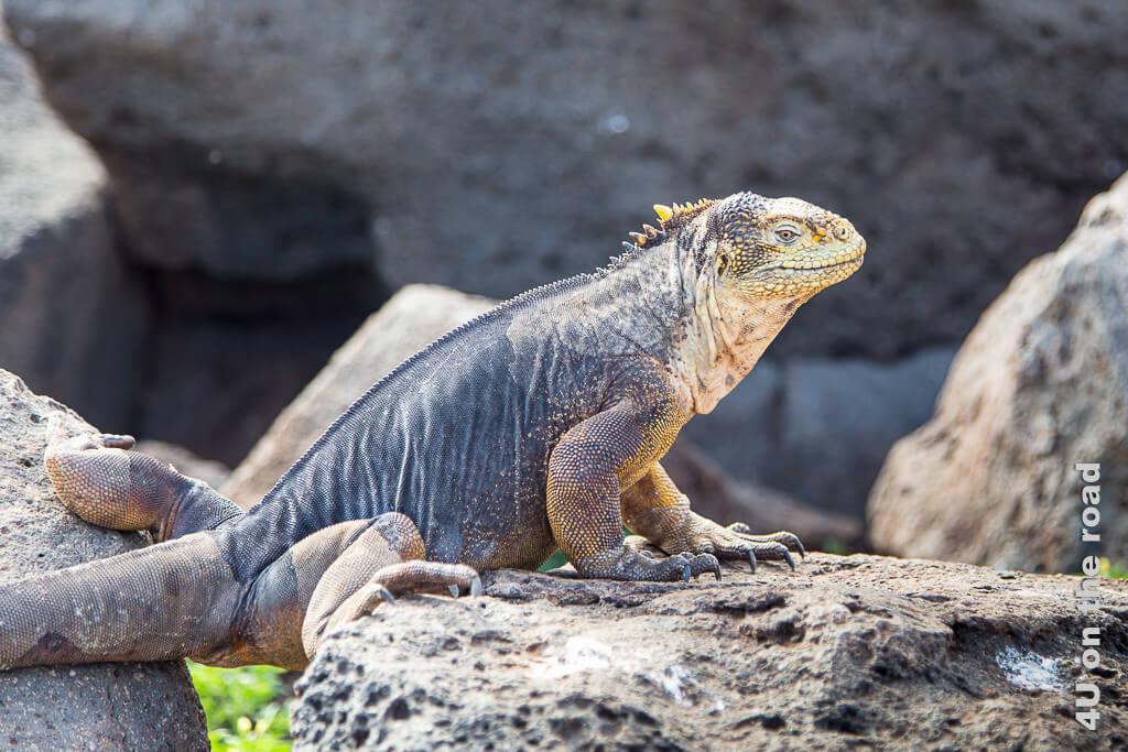 Galápagos Landleguan, Reptilien Galápagos