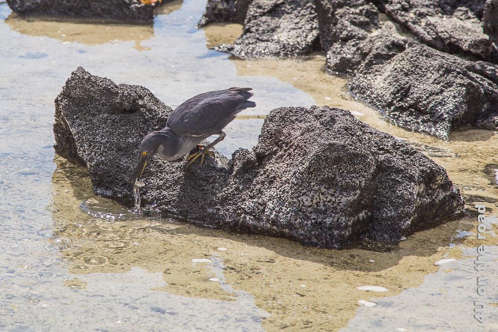 Lavareiher erfolgreich bei der Jagd, Tiere auf den Galápagos Inseln _Vögel