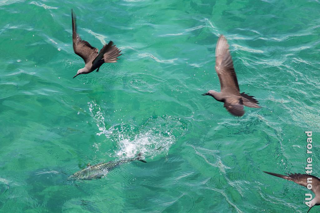 Thunfisch versucht mit Scheinangriffen die Noddiseeschwalben zu verjagen, Tiere auf den Galápagos Inseln - Vögel