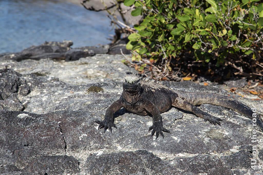 Schwarze Meerechse auf schwarzem Fels, Reptilien auf Galápagos