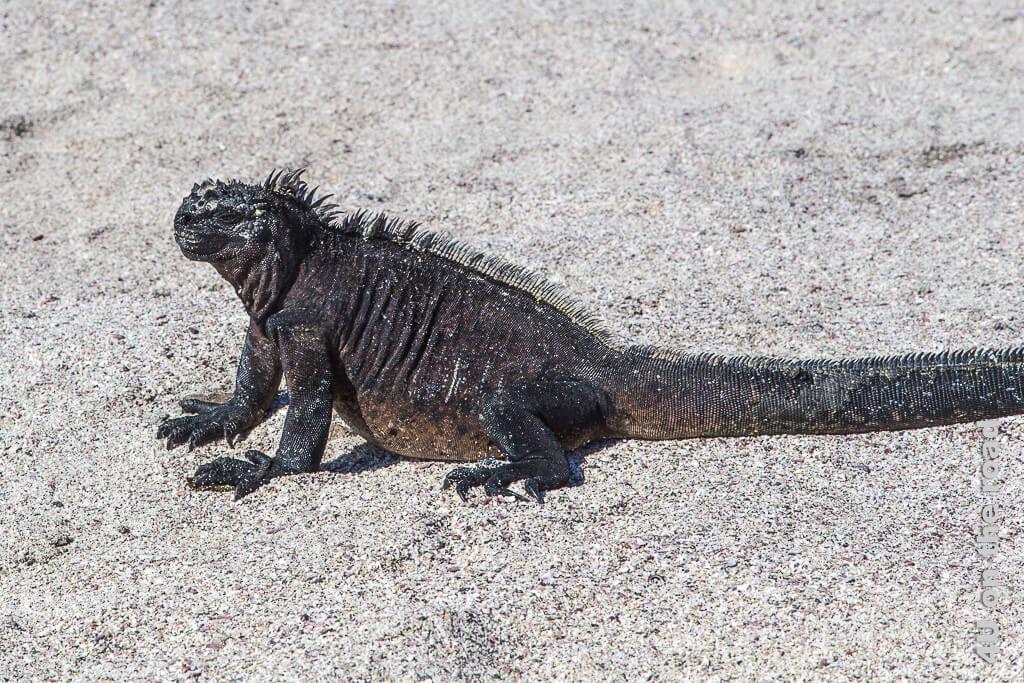 Auf dem Weg zum Wasser - Meerechse, Reptilien auf Galápagos