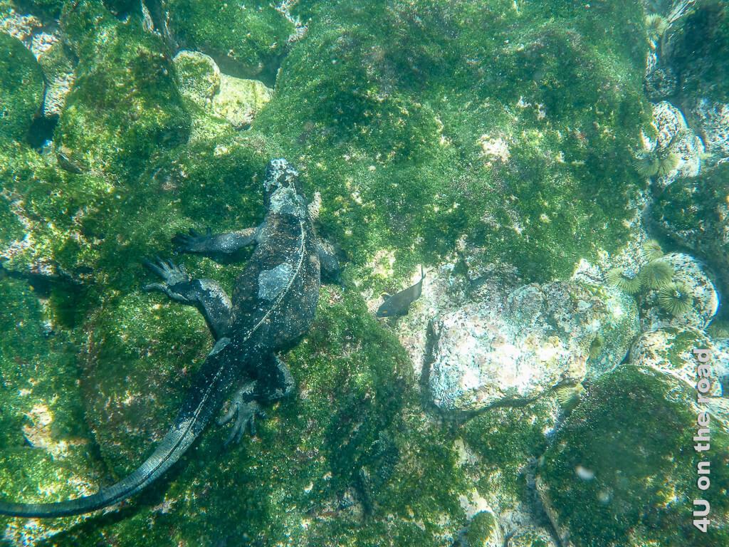 Meerechse beim Tauchgang, Reptilien auf Galápagos