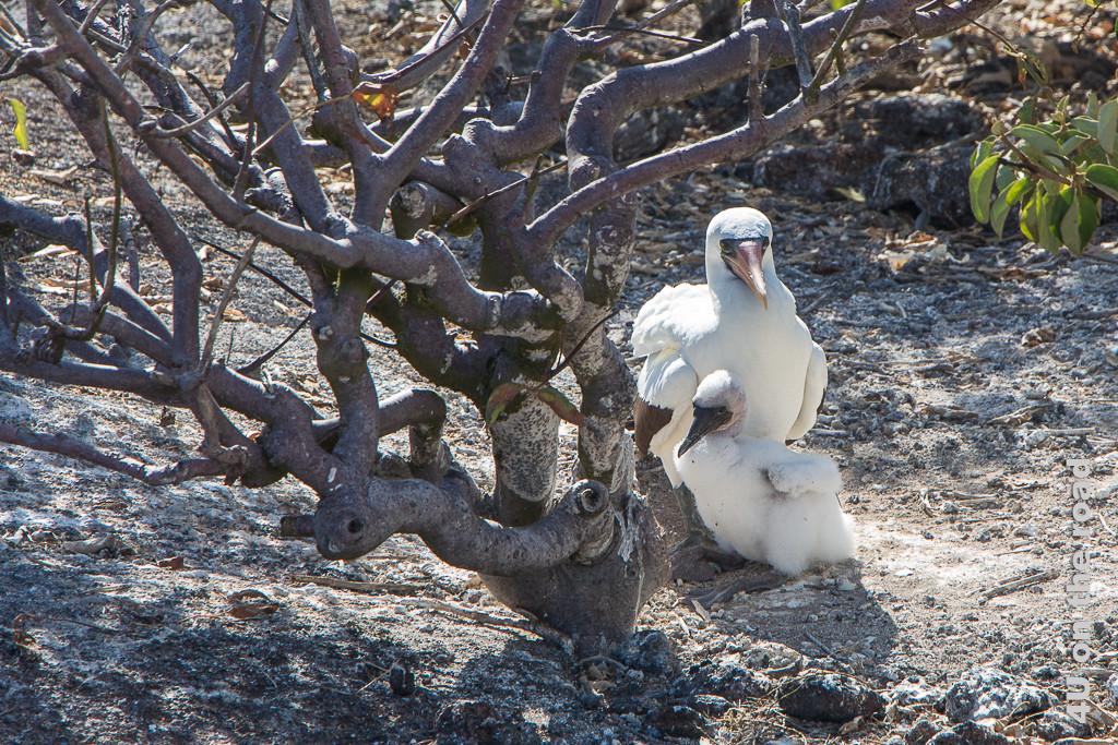 Im Schatten - Nazcatölpel mit Jungem, Tiere auf den Galápagos Inseln - Vögel