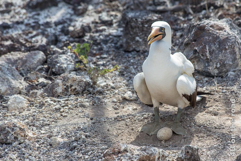 Nazcatölpel mit Ei, Vögel auf Galápagos