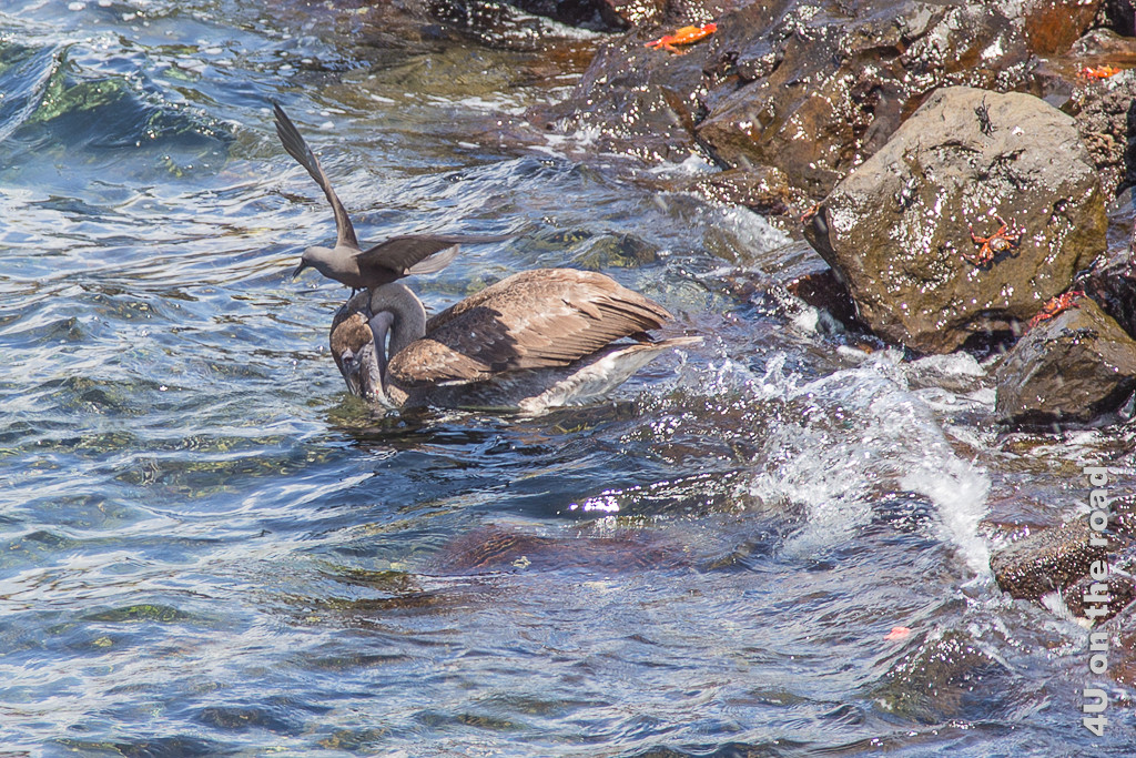 Noddiseeschwalbe auf dem Kopf eines Pelikans, Vögel auf Galápagos