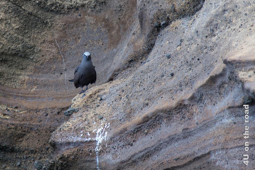 Noddi mit weissem Fleck auf dem Kopf, Vögel auf Galápagos