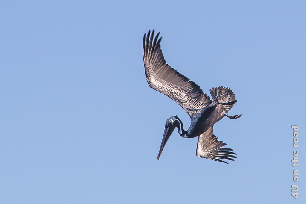 Sturzflug eines Braunpelikans, Tiere auf den den Galápagos Inseln