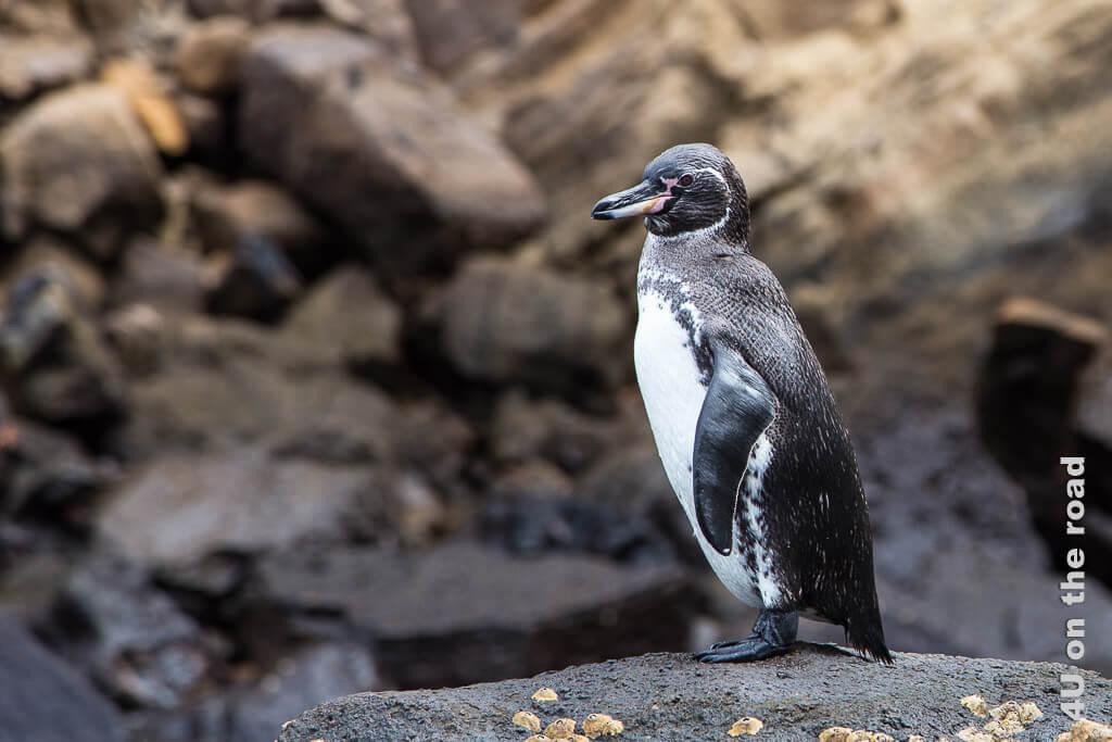 Der Galápagospinguin gehört zu den Brillenpinguinen, Tiere auf den Galápagos Inseln - Vögel