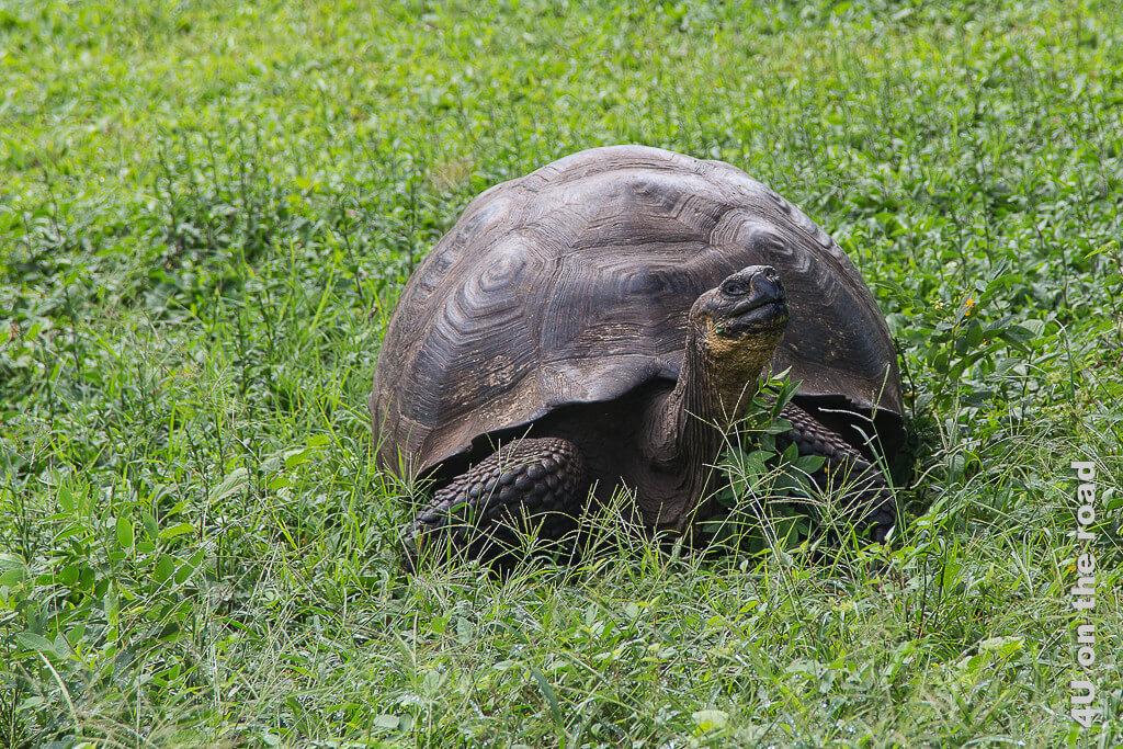 Galápagos Riesenschildkröte, Reptilien Galápagos