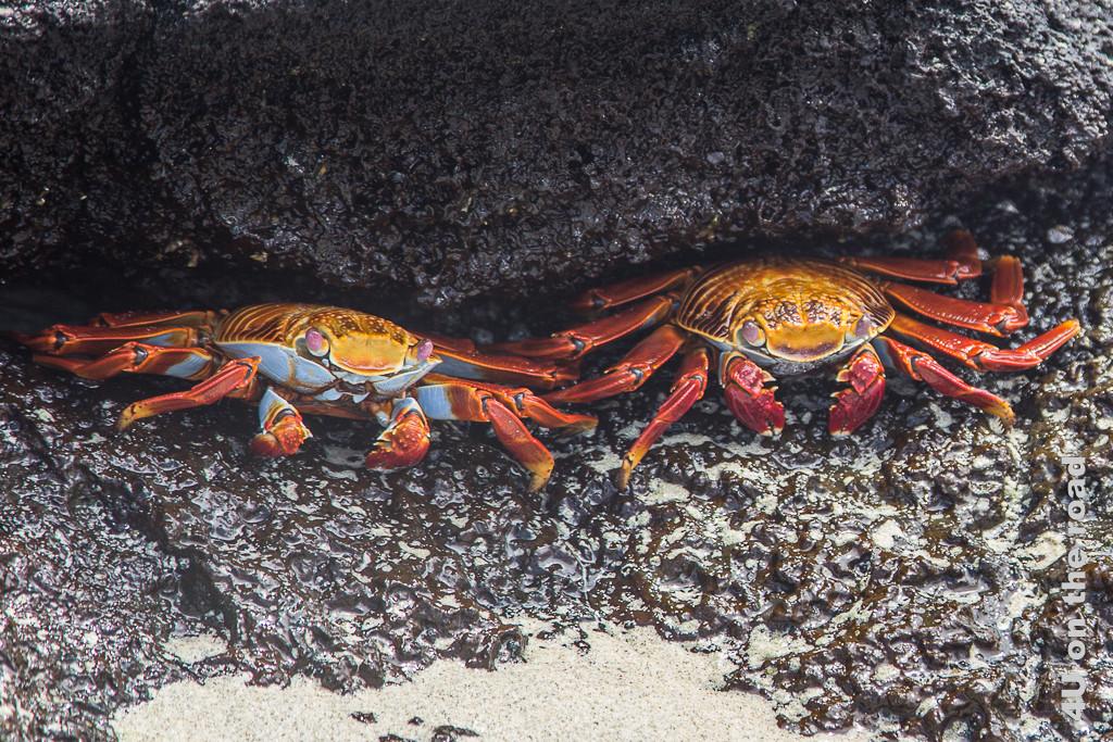 Rote Klippenkrabben, Krabben auf Galápagos