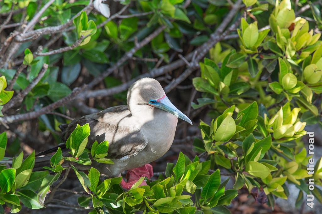 Braungefiederter Rotfusstölpel im Baum sitzend, Tiere auf den Galápagos Inseln - Vögel