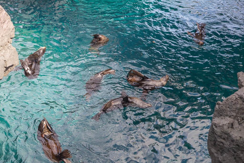 Seebären Ballett auf der Insel Santiago, Raubtiere Galápagos