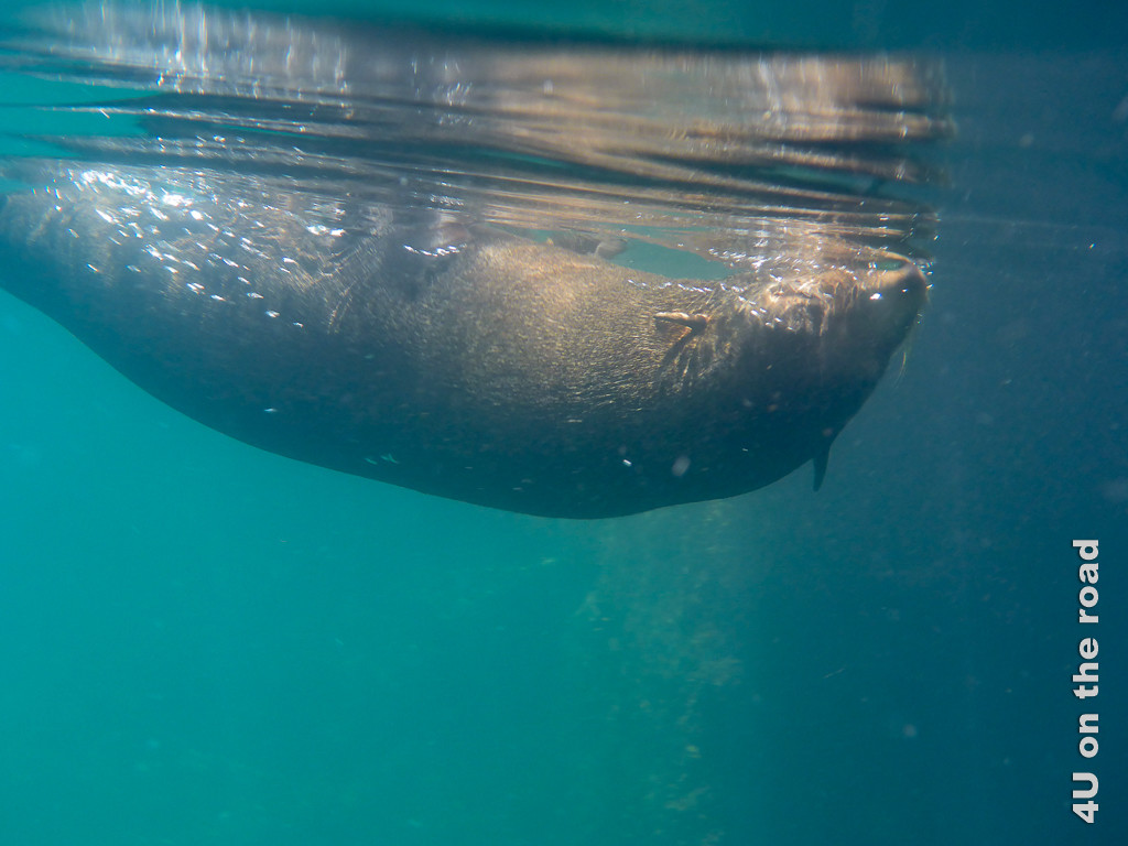 Unter Wasser - Galápagosseelöwe, Raubtiere Galápagos