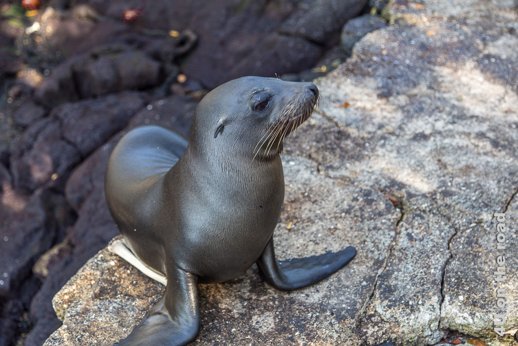 Junger Galápagosseelöwe, Raubtiere Galápagos