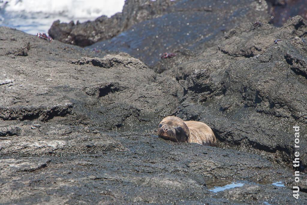 Wenige Stunden altes Baby eines Galápagosseelöwen, Raubtiere Galápagos