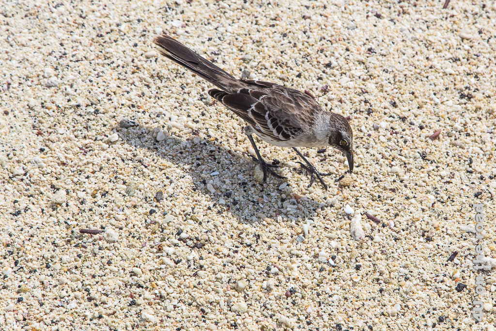 Spottdrossel im Sand, Tiere auf den Galápagos Inseln - Vögel
