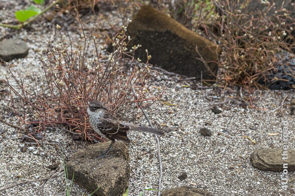 Neugierig beobachtet die Spottdrossel uns, Vögel auf Galápagos