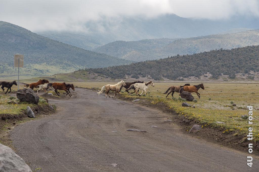 Strasse im Cotopaxi Nationalpark - Eine panische Pferdeherde kreuzt den Weg.