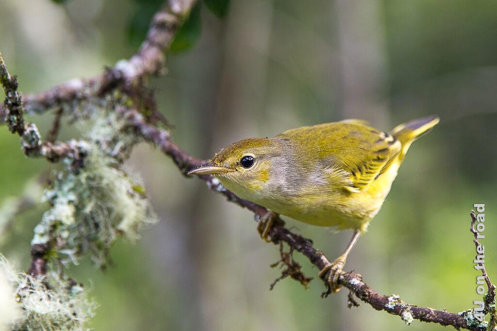 Goldwaldsänger auf Galápagos, Vögel auf Galápagos