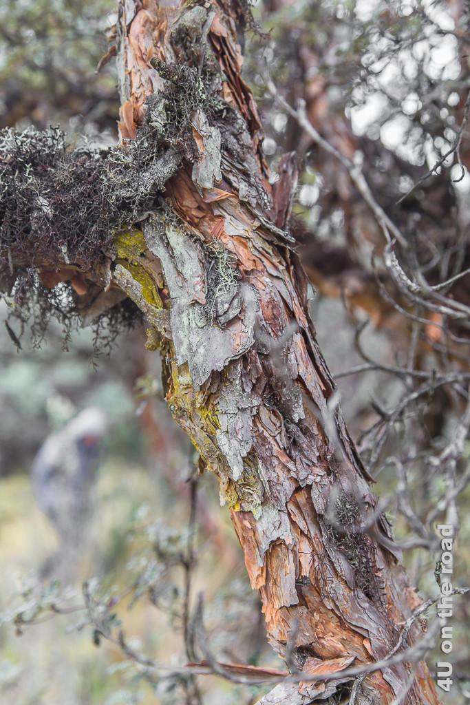 Die Rinde der Polylepis Bäume ist sehr attraktiv - Cajas NP