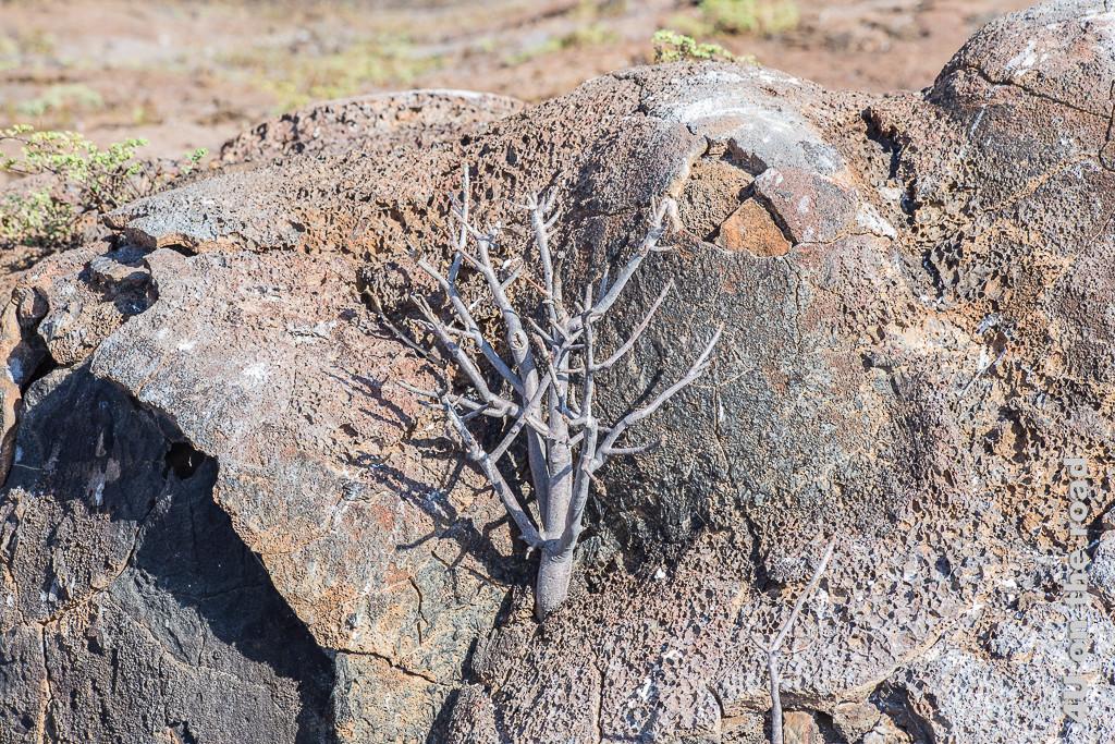Dies wird mal ein Baum - Reisebericht Galápagos Kreuzfahrt
