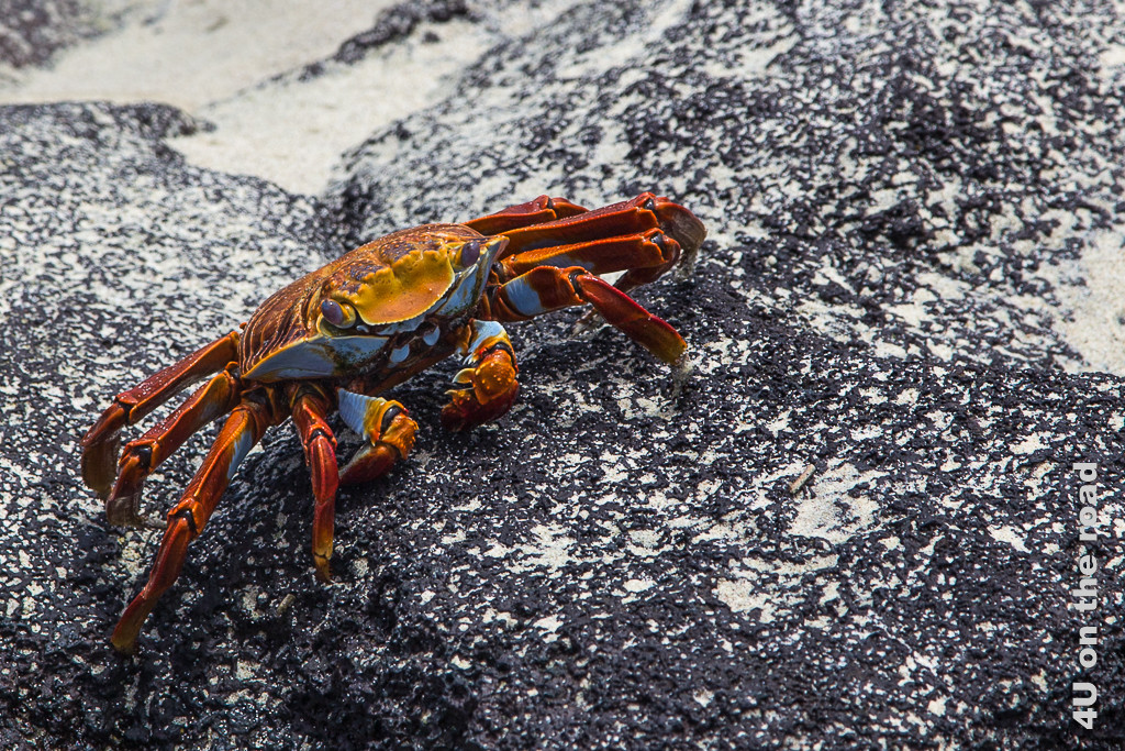 Portrait einer Roten Klippenkrabbe - Reisebericht Galápagos Kreuzfahrt